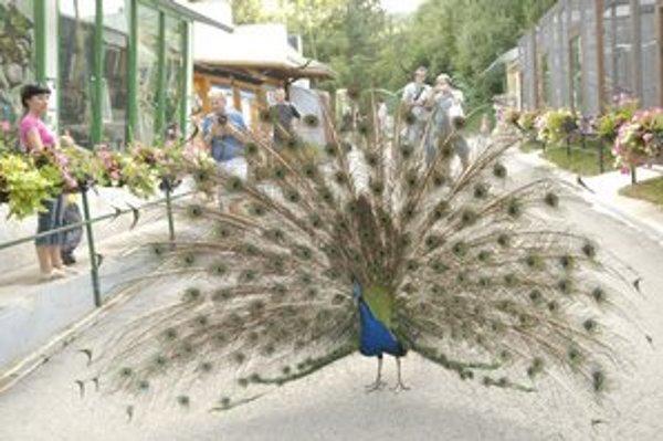 V zoo platia iné cestné pravidlá. Prednosť má vždy páv!