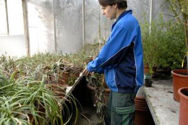 Mráz trópy obišiel. Prasknutý radiátor uškodil predpestovaným rastlinám. Zamrzli.