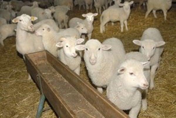 Na farme v Hodkovciach chovajú 1 600 oviec a baranov