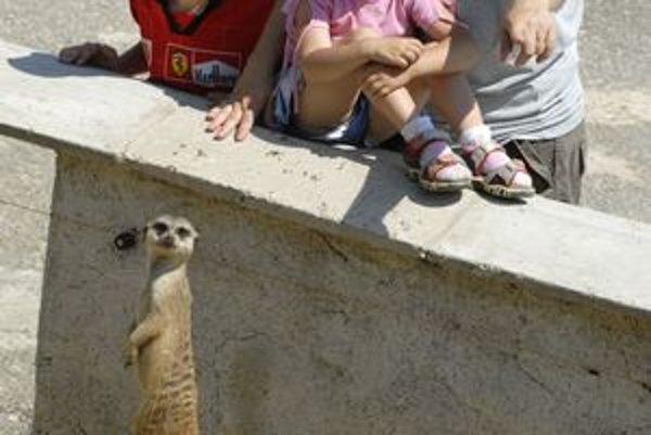 """Zvieracia SBS-ka. """"Pozor, návštevník na obzore,"""" hlási vrchný strážca surikát."""