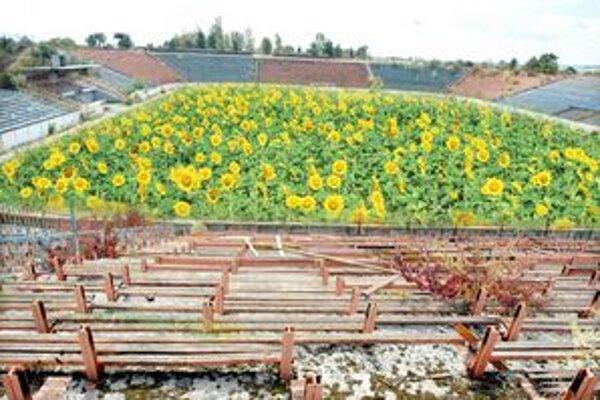 Kedysi tu hrali futbal, dnes pestujú slnečnice.