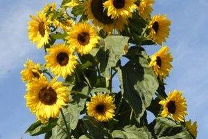 Na rastline sme ich narátali viac ako pol stovky kvetov.