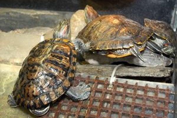 Vodná korytnačka. Môže byť zdrojom salmonely.
