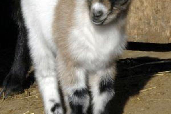 Prírastky. Po výbehu kôz kamerunských skáču tri mladé kozliatka. Včera pribudol malý capko.
