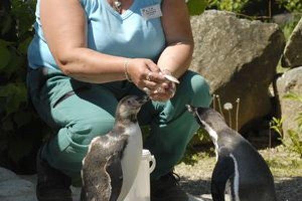 Komentované kŕmenie. Tučniak Kuriatko (vľavo) si rád pri kŕmení vypočuje výklad ošetrovateľky pre návštevníkov, ale ešte radšej si pochutnáva na sleďoch.