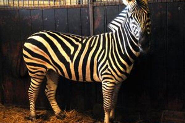 Zebra ešte v karanténe zo zoo z Dvora Králové.