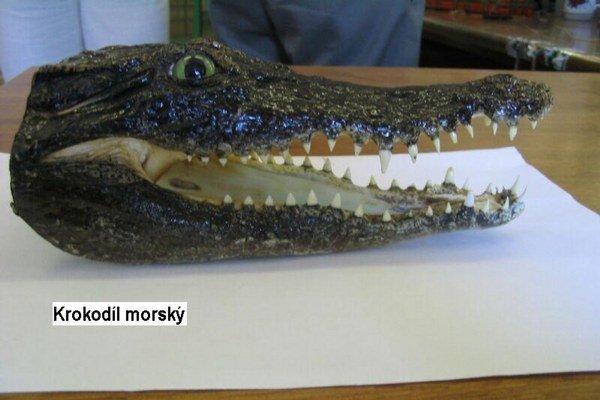 Hlava krokodíla. Zachytili ju colníci.