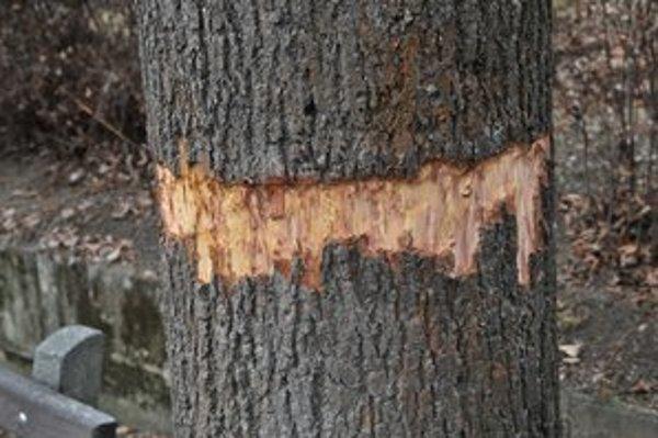 """Narezaný strom. """"Bobor"""" zo Sídliska II ho chce takto zničiť."""
