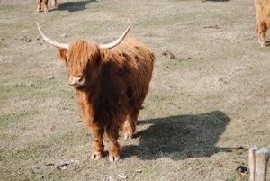 Kravy s dlhou srsťou. Na chov sú vraj nenáročné.