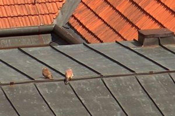Párik sokola myšiara obľubuje strechy a vysoké budovy.