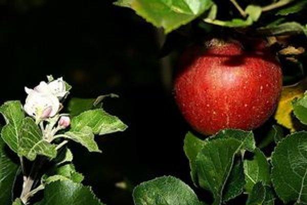 Jabloň v Širokom. Kvitne i rodí zároveň.