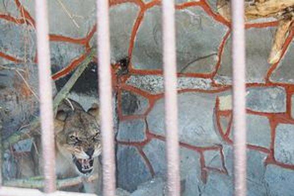 Levica Zora. Na prostredie v stropkovskej zoo si ešte len zvyká.