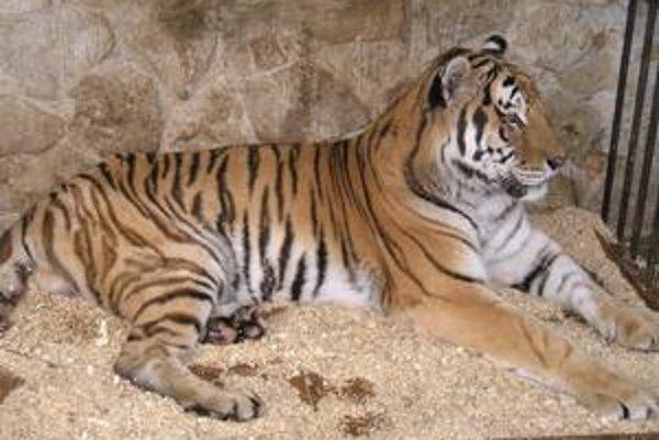 Tiger Dany. Dožil sa pozoruhodne vysokého veku.