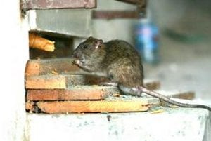 Potkan. Hlodavce sa premnožili.