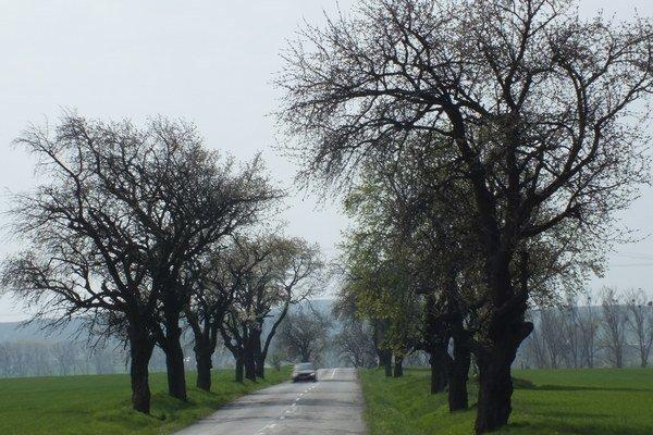 Aleja košatých stromov pri ceste. Nachádza sa za obcou Zemplínske Jastrabie.