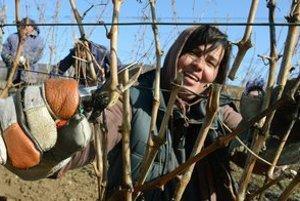 Strih viniča patrí k najdôležitejším prácam vo vinohrade.