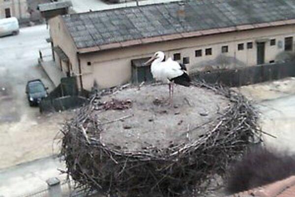 Bocian biely. Prvý bocian priletel do Brzotína 28. marca.