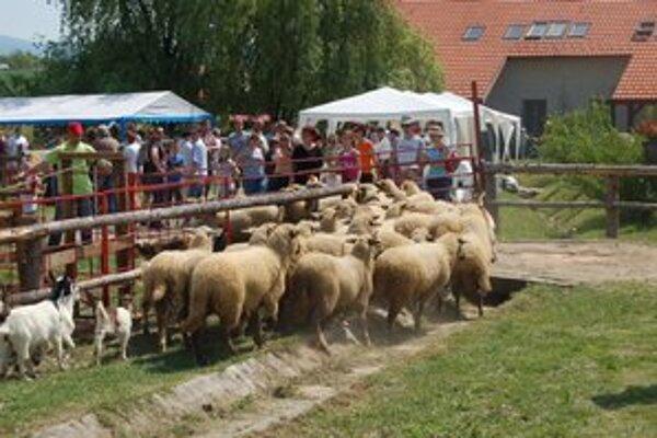 Ovčiarsky deň. Prítomní si pozreli košarovanie, dojenie, ale aj strihanie oviec.