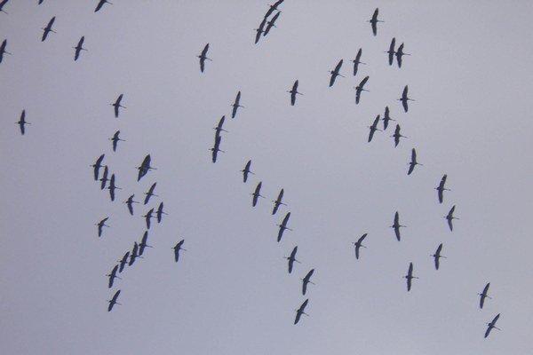 Kŕdeľ žeriavov sa zoraďuje do letovej formácie nad Humenným.