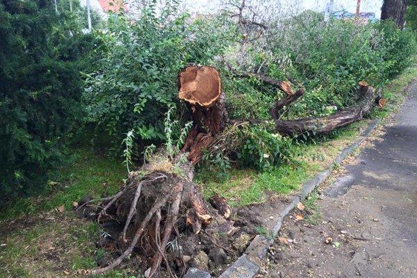 Strom hlošina úzkolistá, známa aj ako česká oliva, vo vetre a búrke spadla, pričom už dlhší čas bola naklonená nad chodník.