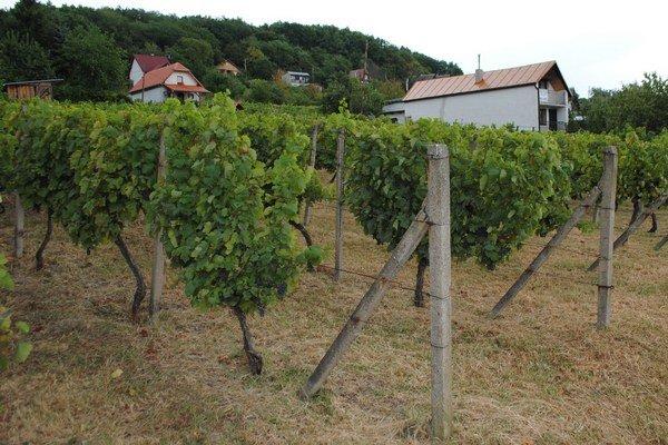 Vinice vo Vinnom. Obci hrozí, že s poslednou generáciou vinohradníkov zanikne aj vinohradníctvo. Mladým sa pestovanie a obrábanie viníc už neoplatí.
