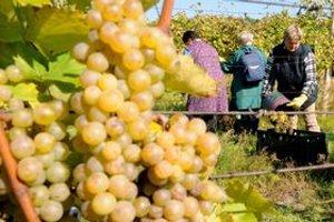 Zber hrozna v tokajských viniciach.