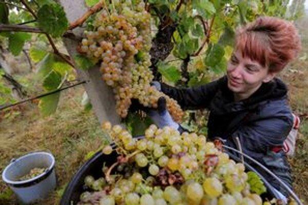 Lipovina dozrela v tokajských viniciach do výborných parametrov.