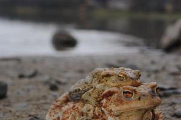 Mnohé žaby skončili pod kolesami áut, alebo uväznené v bazénoch.