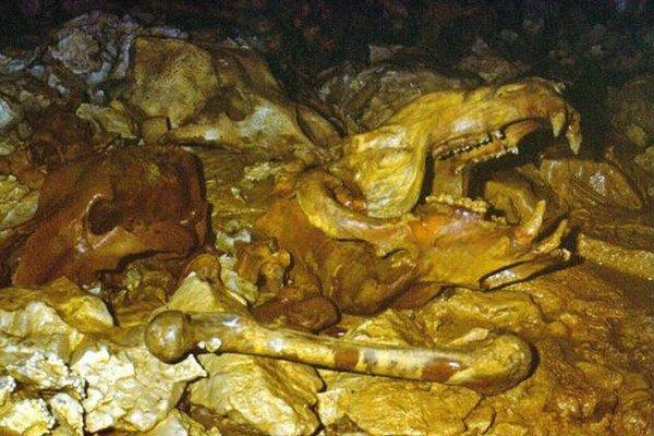 Lebky a kosti jaskynných medveďov. Nachádzajú sa v jaskyni Psie diery.