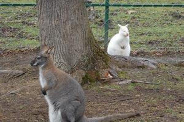Albín. Je raritou v najmenšej zoo. Jeho mamička v popredí v lete očakáva ďalší prírastok.