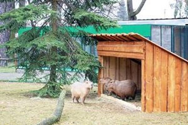 Mláďatká kapybary. Najnovší prírastok mestskej ZOO. Tá je najmenšou na Slovensku a dostala sa aj medzi návrhy na sedem divov mesta.
