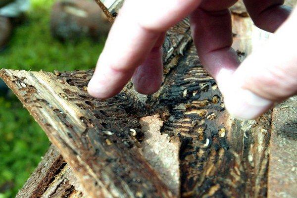 Drevo napadnuté lykožrútom.