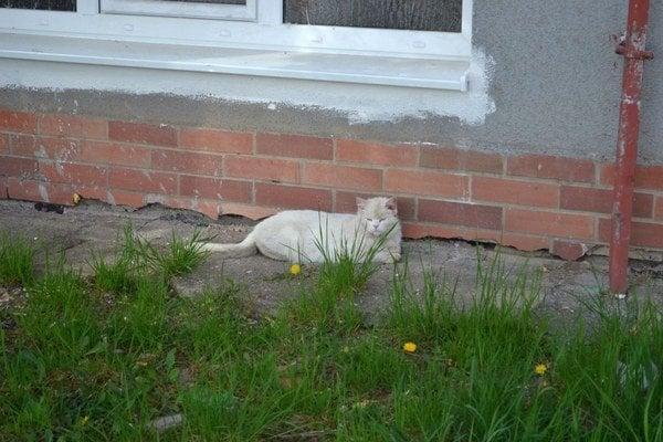 Túlavé mačky. Takto sa vyvaľujú pod oknami.