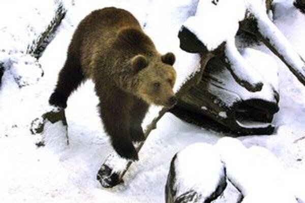 Medvedica rodí uprostred zimy v čase zimného spánku.