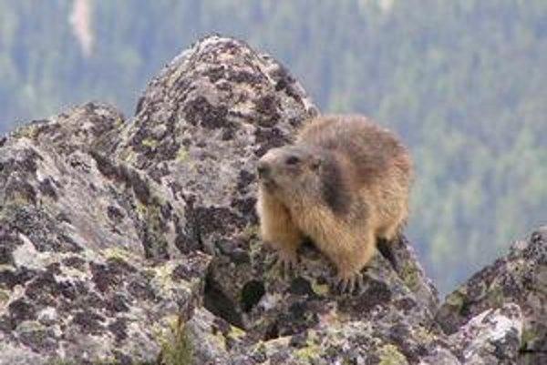 Svište sú popri kamzíkoch najtypickejšie zvieratá Tatier.