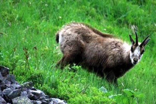 Kamzík je symbolom tatranskej oblasti. V posledných rokoch sa podarilo zastaviť pokles jeho stavov.