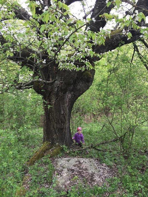 Čerešňa rastie blízko cesty, ľudia však o ňu nejavia záujem.