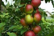 Sezóna jabĺk vrcholí.