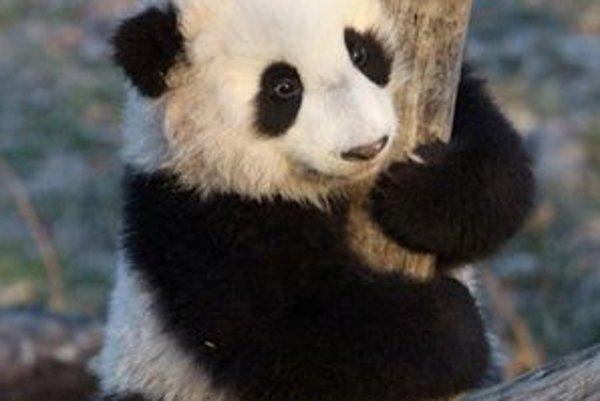 Panda veľká.