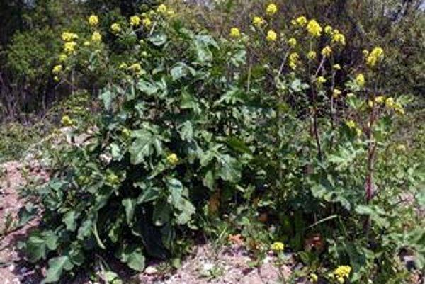 Sinapis nigra (Brassica nigra). Čiernohorčica siata.
