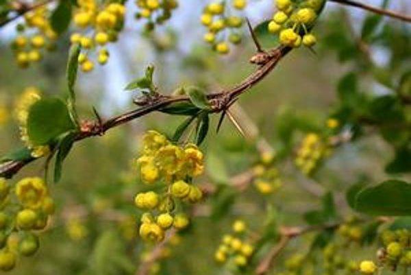 Dráč obyčajný - Berberis vulgaris