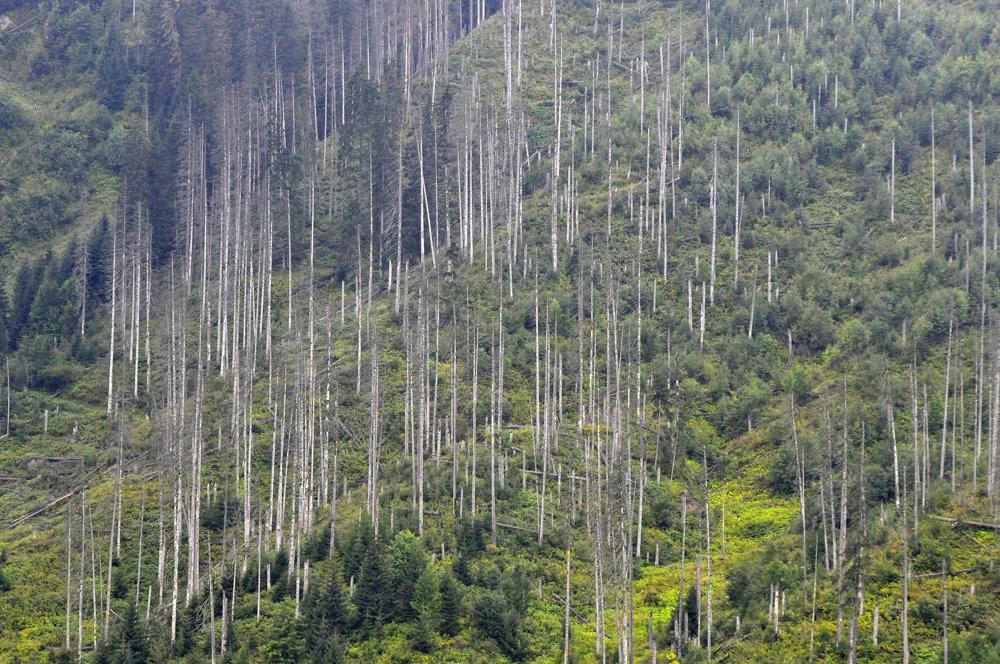 Pohľad na oblasť v Javorovej doline zasiahnutú lykožrútom  počas pozemnej prehliadky území vo Vysokých Tatrách napadnutých lykožrútom. Snímka je z 30.augusta 2016