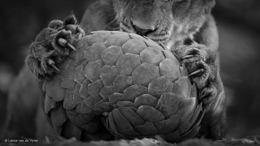 Hra na pangolina. Levie mláďa sa hrá so šupinavcom savanovým (Smutsia temminckii). Šupinatý cicavec väčšinou prežije stret s mačacími šelmami, pretože sa schúli do klbka, cez ktoré sa ich drápy nevedia dostať.