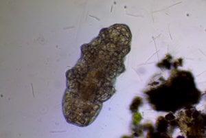 Pomalka (tardigrada).
