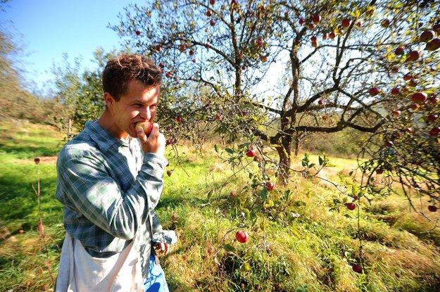 Atmosféra samozberu rôznych odrôd jabĺk v starom jabloňovom sade v osade Španie pri obci Nová Bošáca.