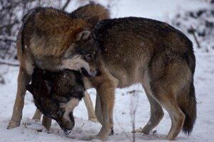 Vlky dravé.