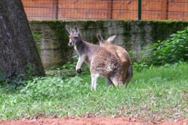 Kengury patria k obľúbeným zvieratám návštevníkov zoo.