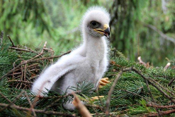 Mláďa orla krikľavého.