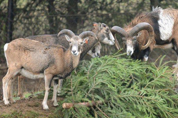 Približne 120 muflónov ukradli z obce Malá Tŕňa.