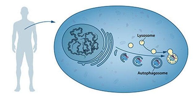 Autofagozómy pohlcujú poškodené proteíny a iné časti bunky. Následne sa spájajú s lyzozómami, ktoré tieto zložky rozložia na živiny a materiál potrebný na obnovu bunky.